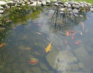 рыбки в пруду на даче1