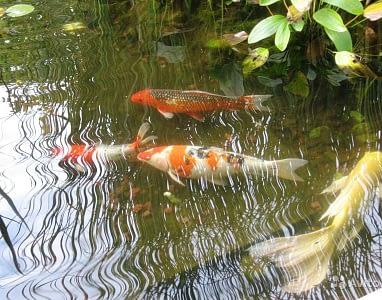 рыбки в пруду на даче