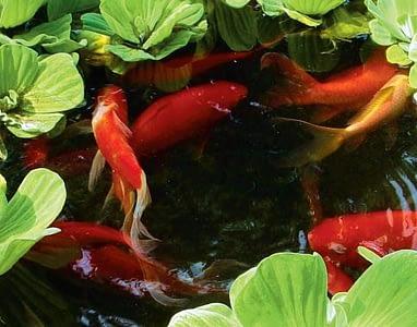 рыбки в пруду на даче4
