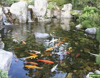 рыбки в пруду на даче5